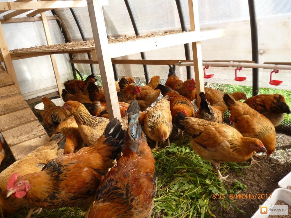 Кучинская юбилейная мясо-яичная порода кур: особенности характера, рекомендации по содержанию, кормлению, разведению