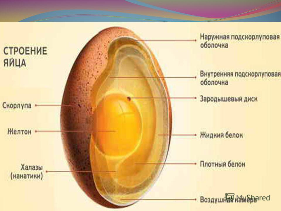 Анатомия свежего яйца