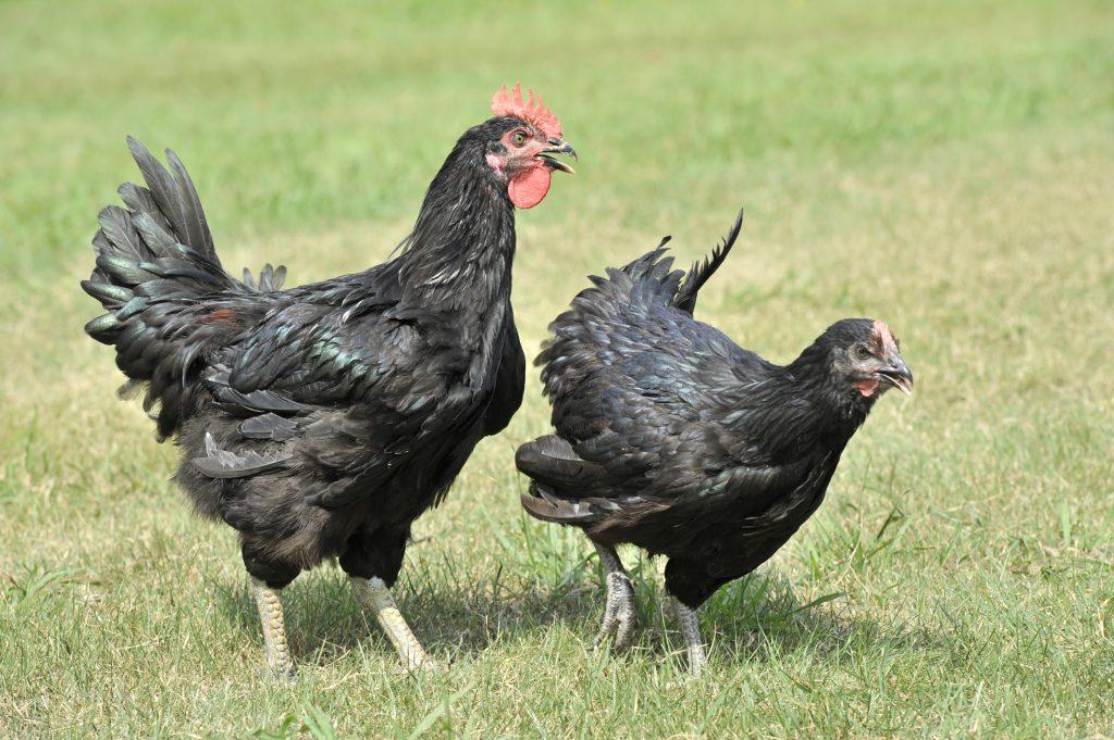 Ванараджа порода кур – описание с фото и видео