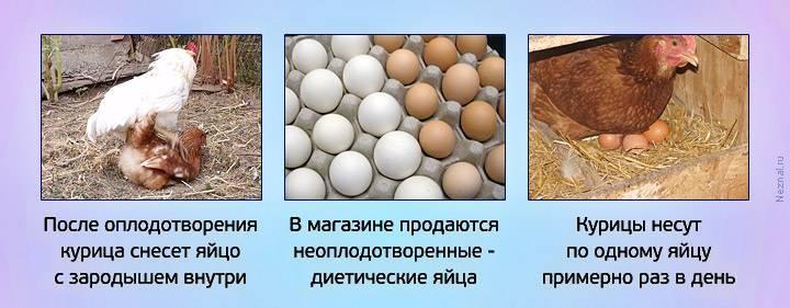 Как заставить кур нестись каждый день? Действенные способы увеличить яйценоскость птиц