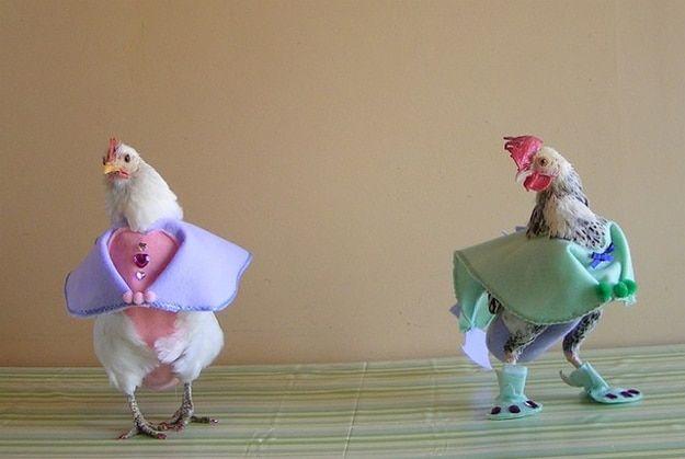 В каких случаях курам нужны памперсы для птиц, а в каких – нет?