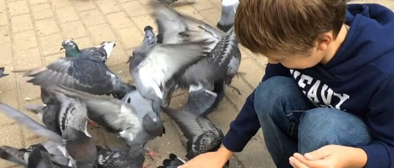 Как поймать голубя на улице посредством ловушки или голыми руками