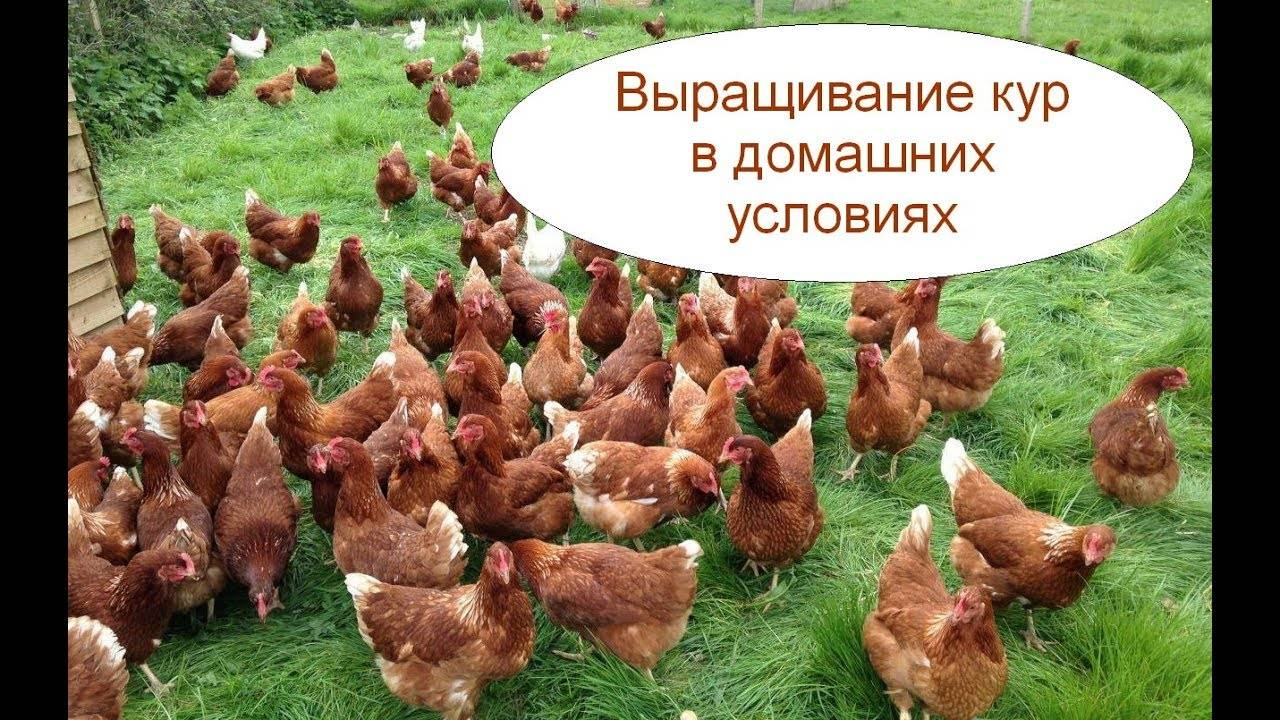 Выращивание кур в домашних условиях с нуля с чего начать