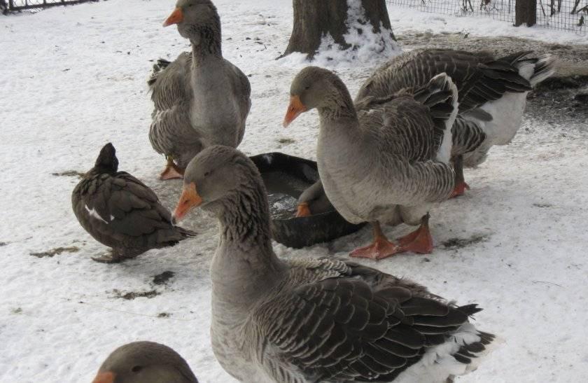В каком возрасте начинают нестись куры, гуси, утки?