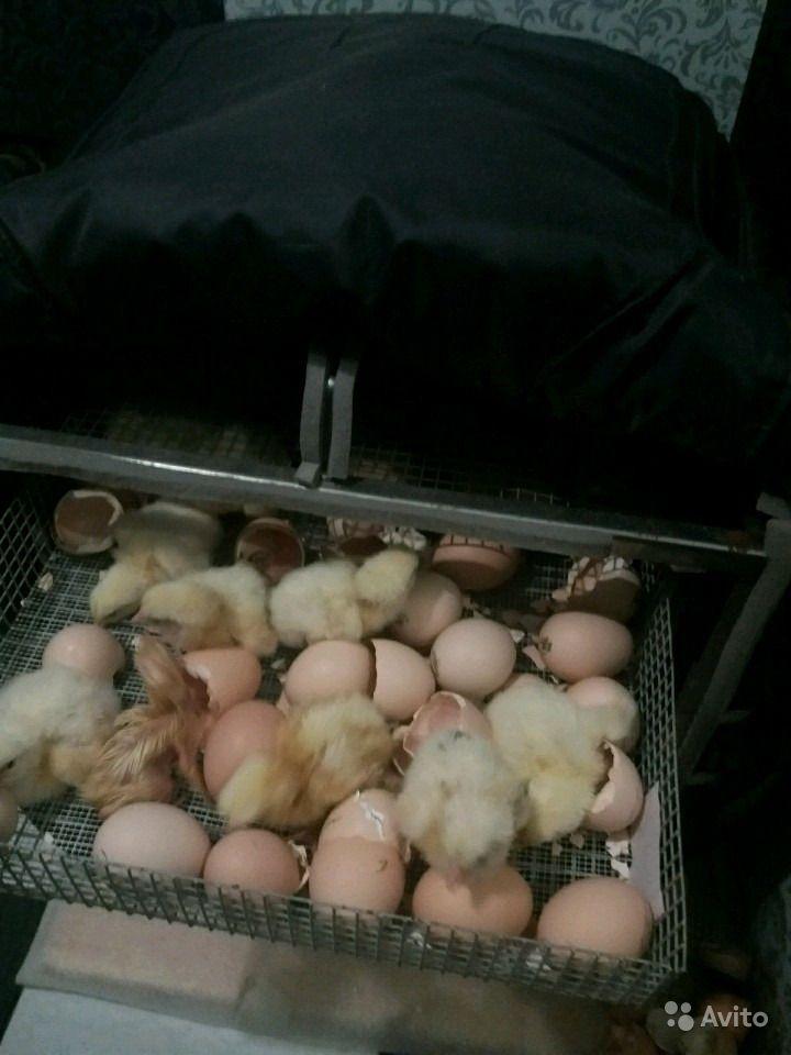 Инструкции по выведению цыплят в инкубаторе