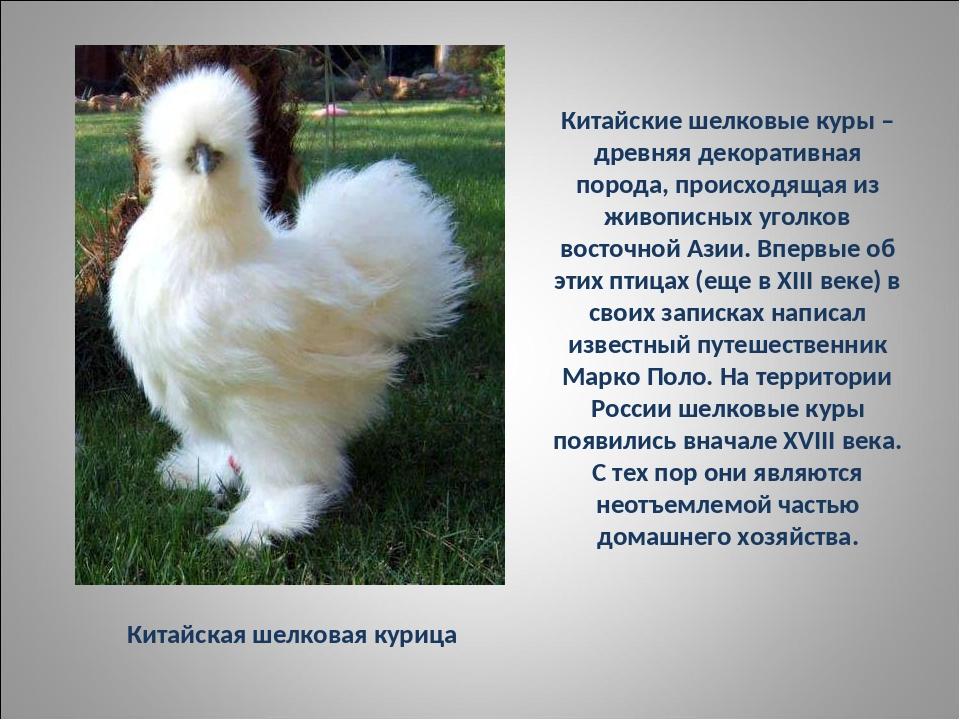 Китайская пуховая (шелковая) - декоративная порода кур. Описание, характеристики, правила выращивания и кормления