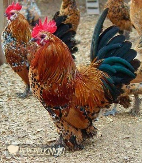 Мильфлер порода кур – описание, содержание, фото и видео