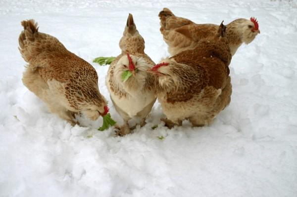 Снег курам зимой вместо воды