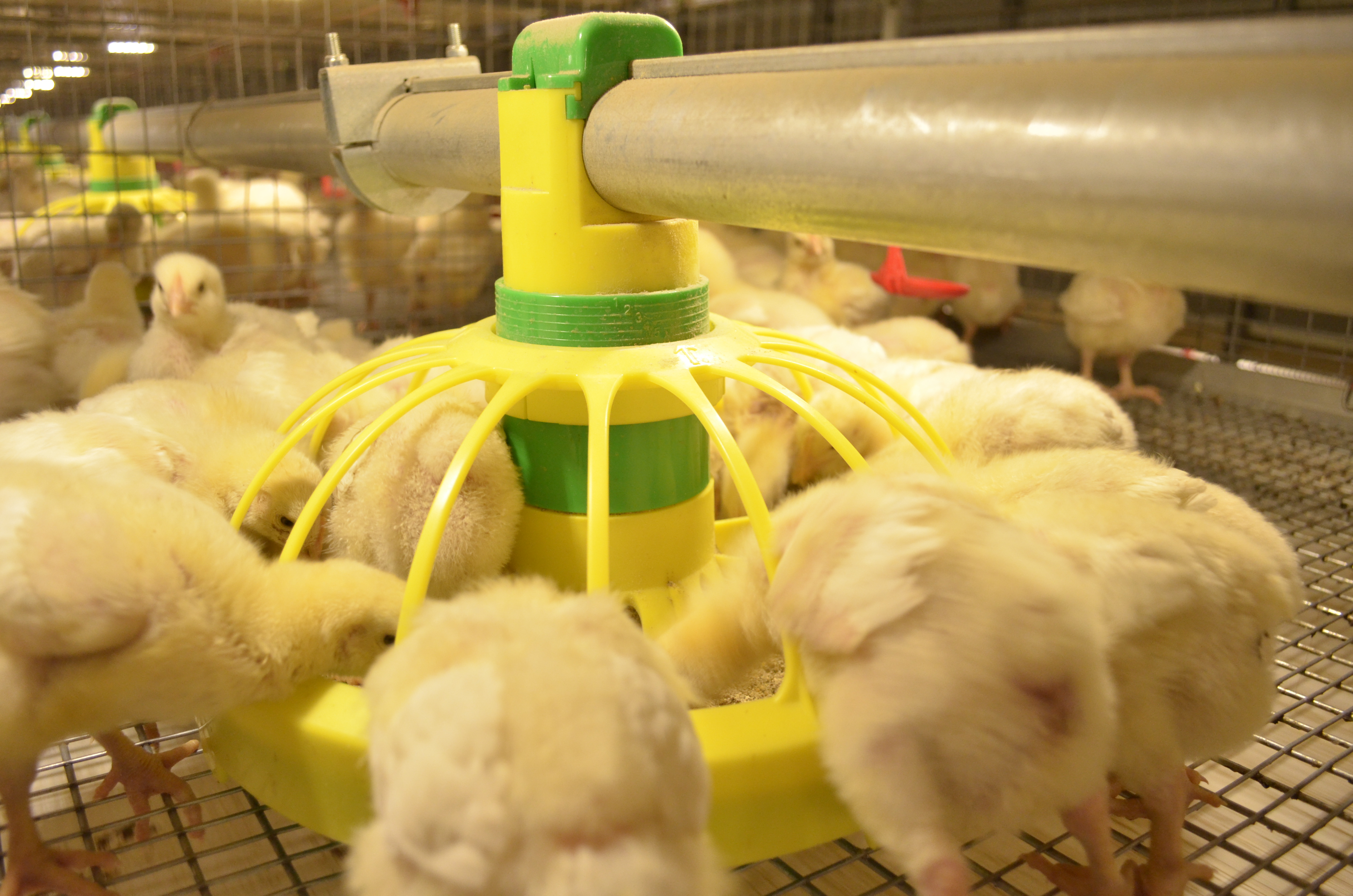 Где купить и как выбирать бройлерных цыплят