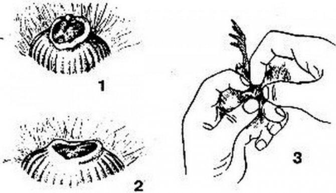 Как выращивать и что делать с вылупившимися гусятами