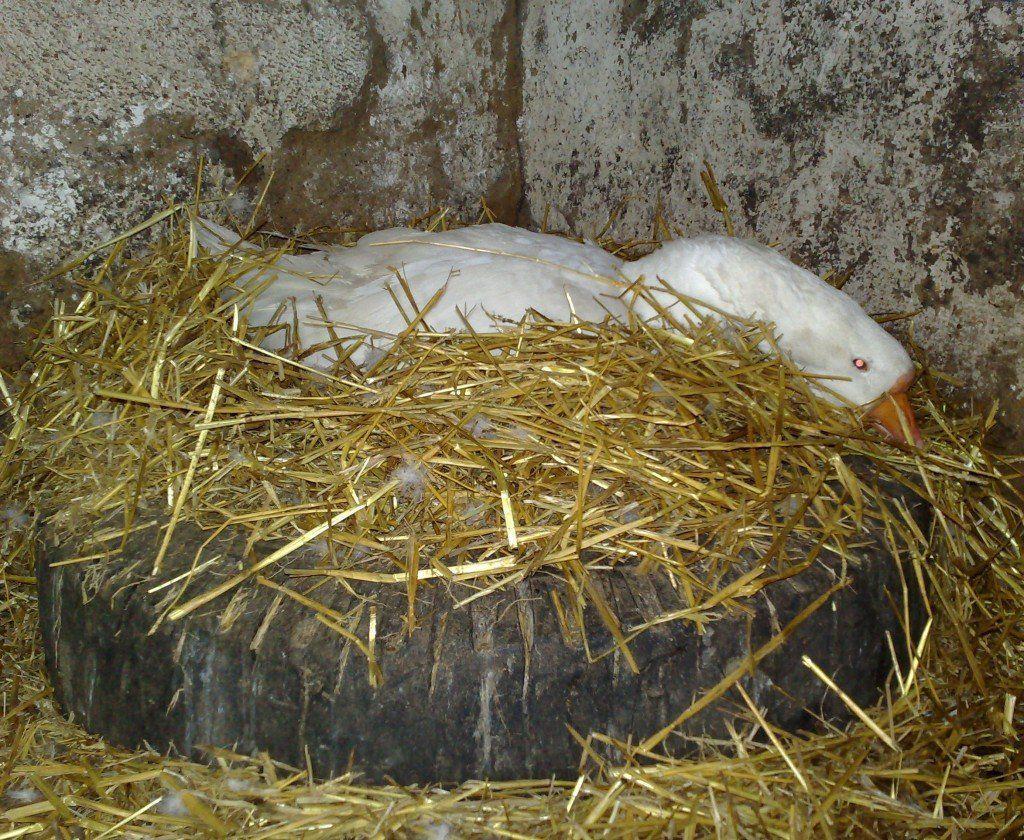 Как посадить гусыню на яйца если она не хочет