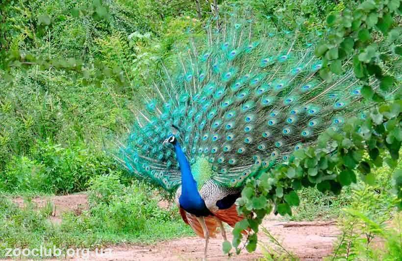 Голуби павлины: особенности содержания и кормления