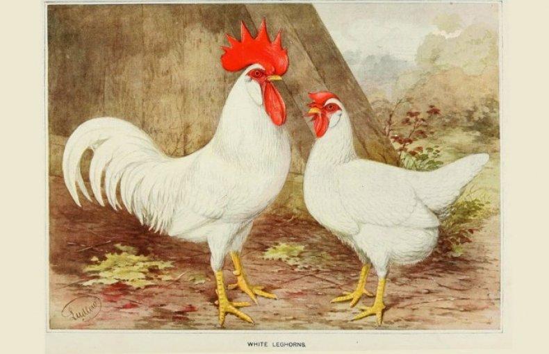 Леггорн порода кур – описание, фото и видео