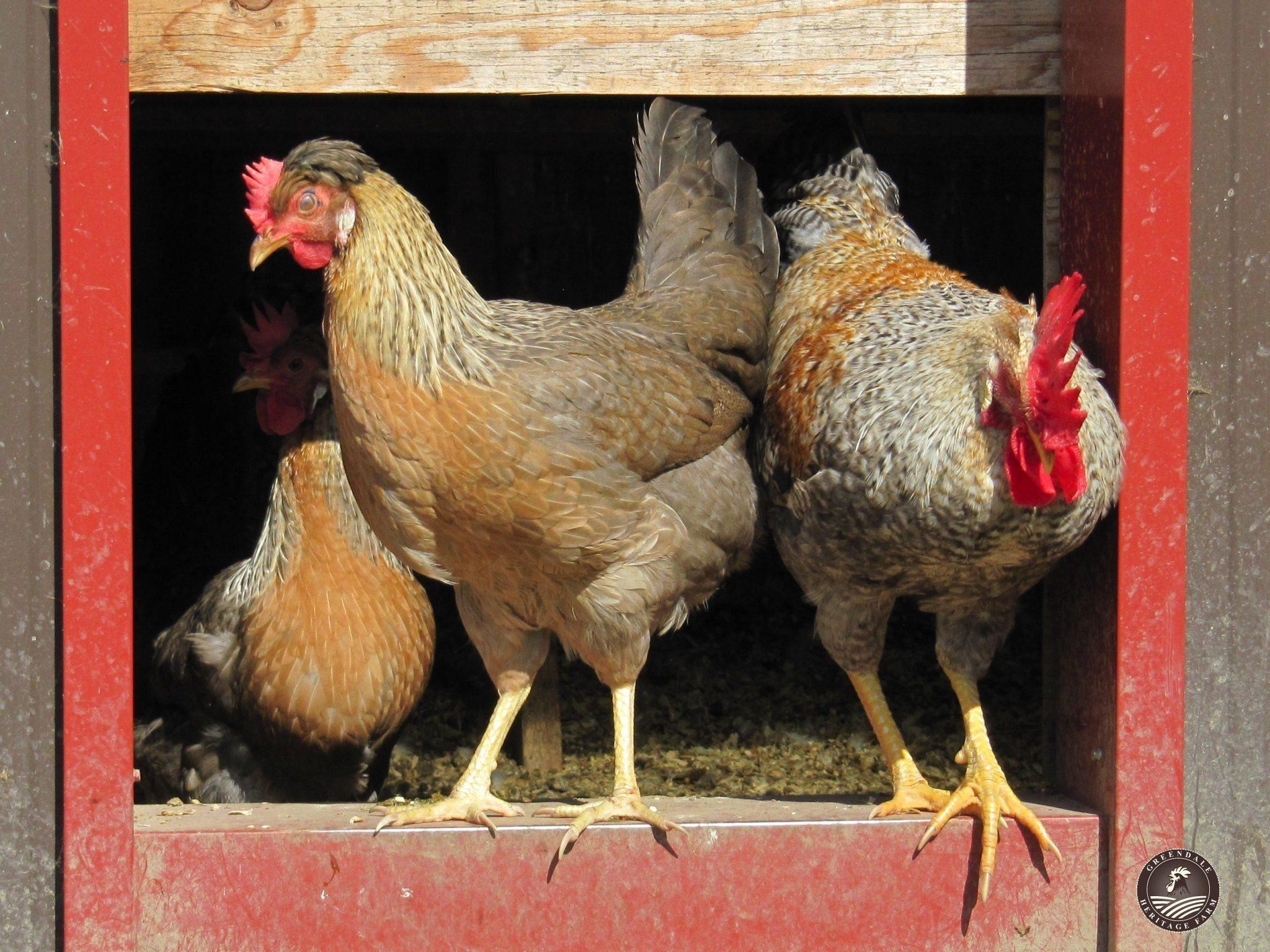 Красношапочная - мясо-яичная порода кур. Описание, характеристика, разведение, кормление и инкубация