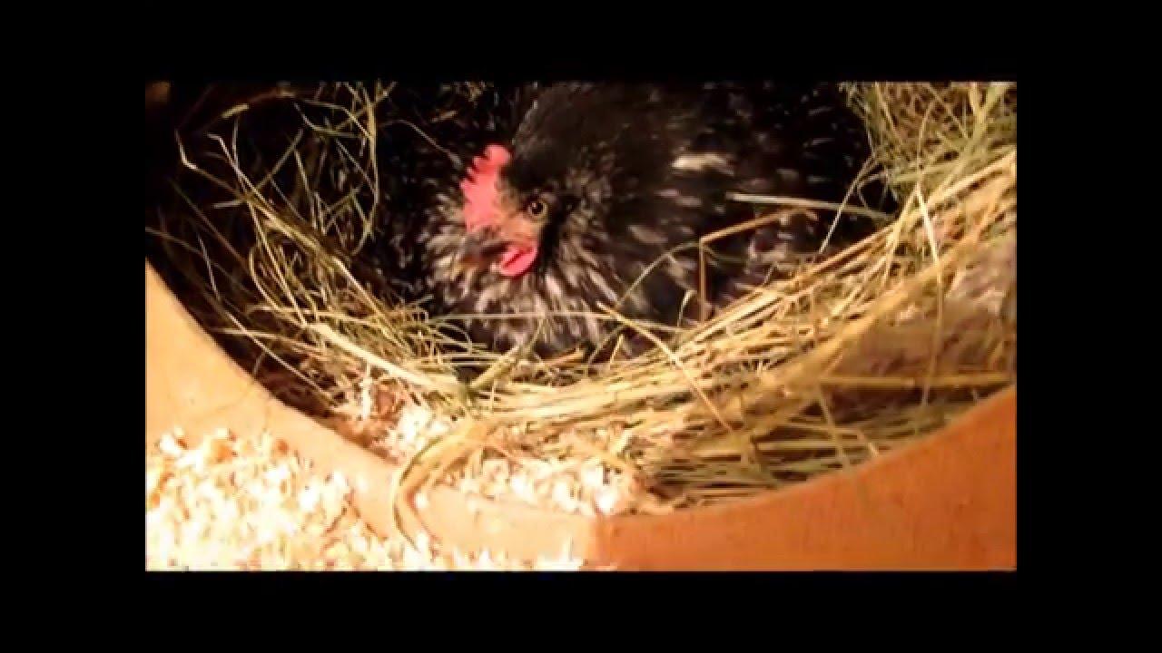 Естественное выведение цыплят под наседкой