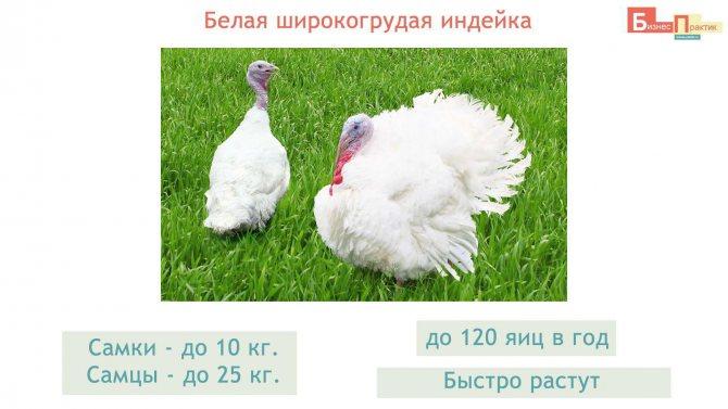 Московская белая индейка – описание породы, особенности разведения и выращивания