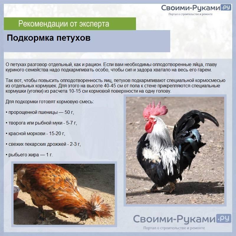 Нью-Гемпшир - мясо-яичная порода кур. Характеристики, разведение, особенности содержания и кормления