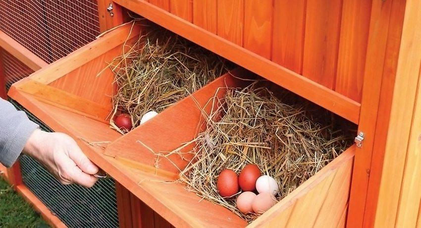 Куры несутся где попало как приучить к гнезду