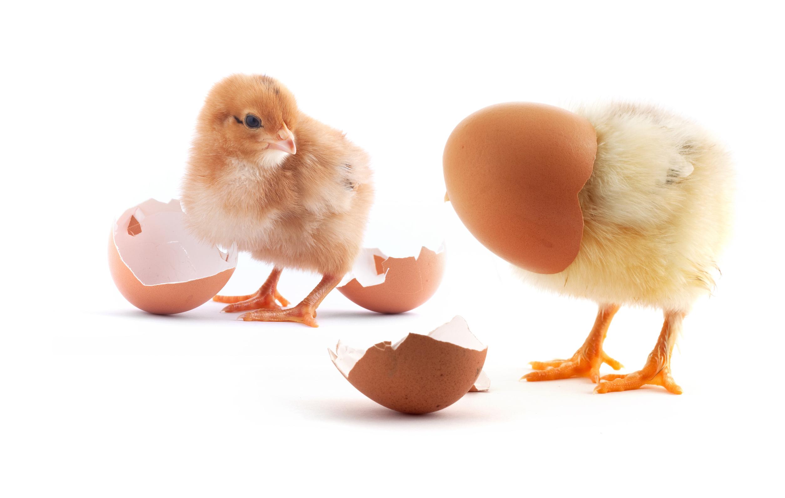 Как по яйцу определить пол цыпленка: как узнать по форме и скорлупе кто вылупится - петух или курица?