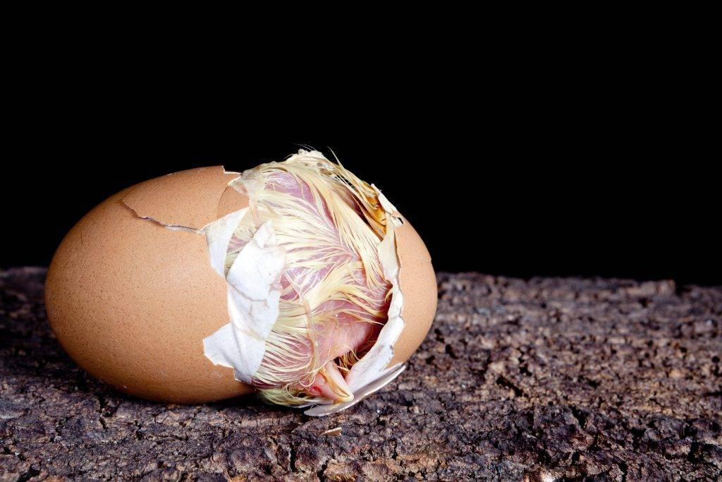 Как вылупляются цыплята: через сколько дней они выводятся в инкубаторе, как помочь птенцу выбраться из яйца?
