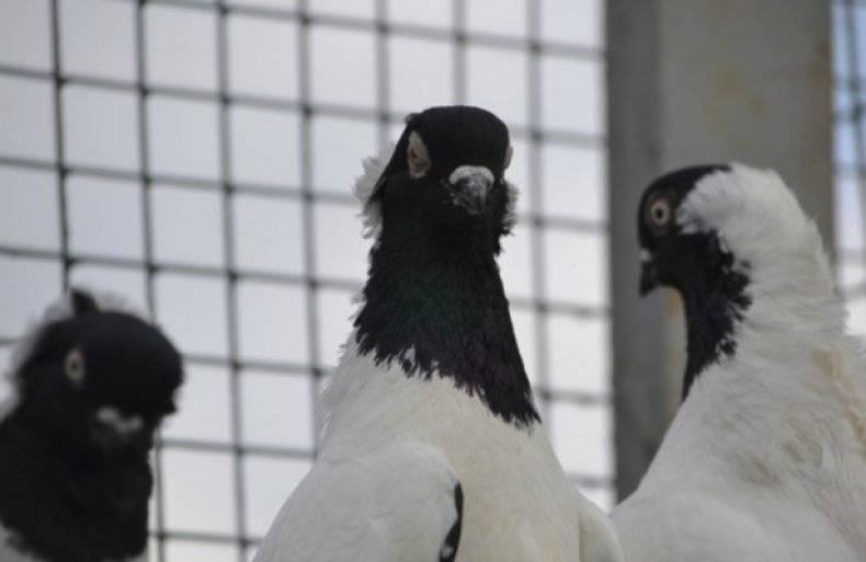 Немецкие голуби монахи: описание породы и происхождение