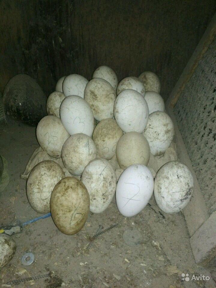 Сколько сидит на яйцах индоутка?