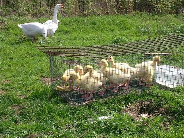 Разведение гусей в домашних условиях для начинающих, основы ухода