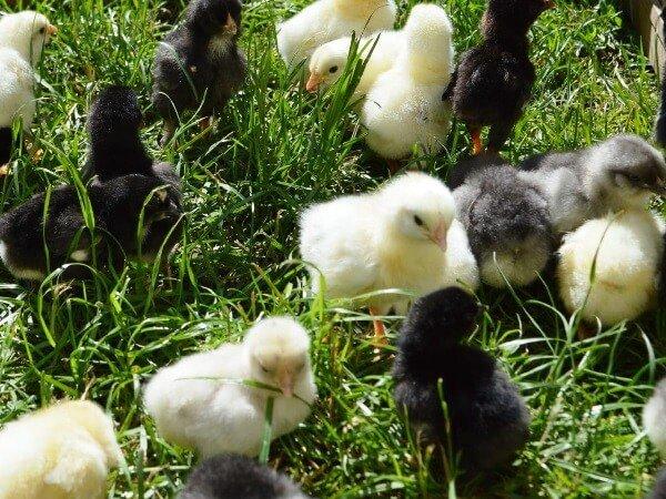 Аннаберг порода кур – описание с фото и видео