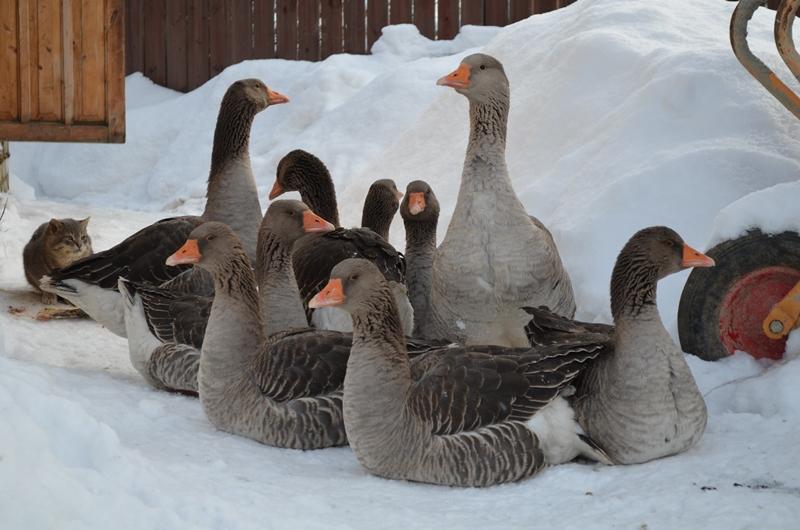 Шадринские гуси –показатели продуктивности, особенности выращивания