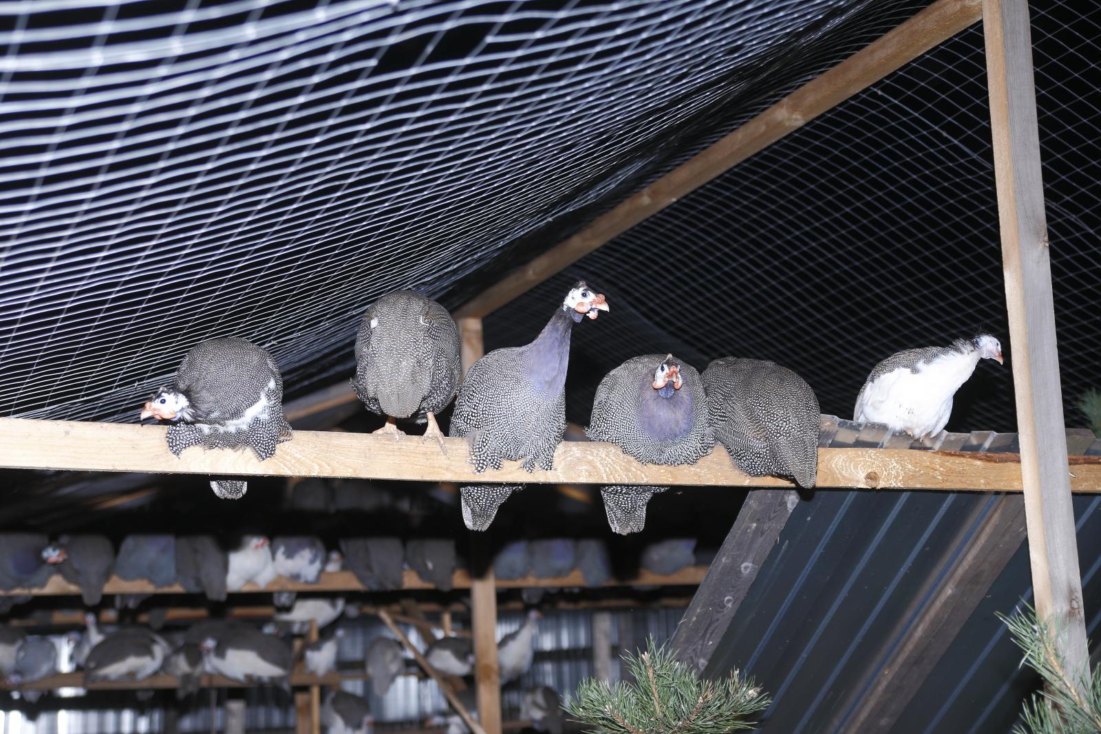 Разведение цесарок в домашних условиях