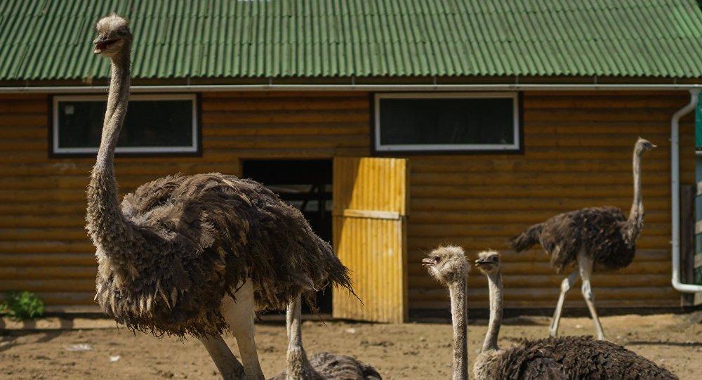 Что едят страусы в природе и в домашних условиях