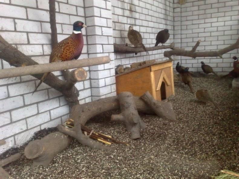 Содержание, уход и выращивание фазанов в домашних условиях