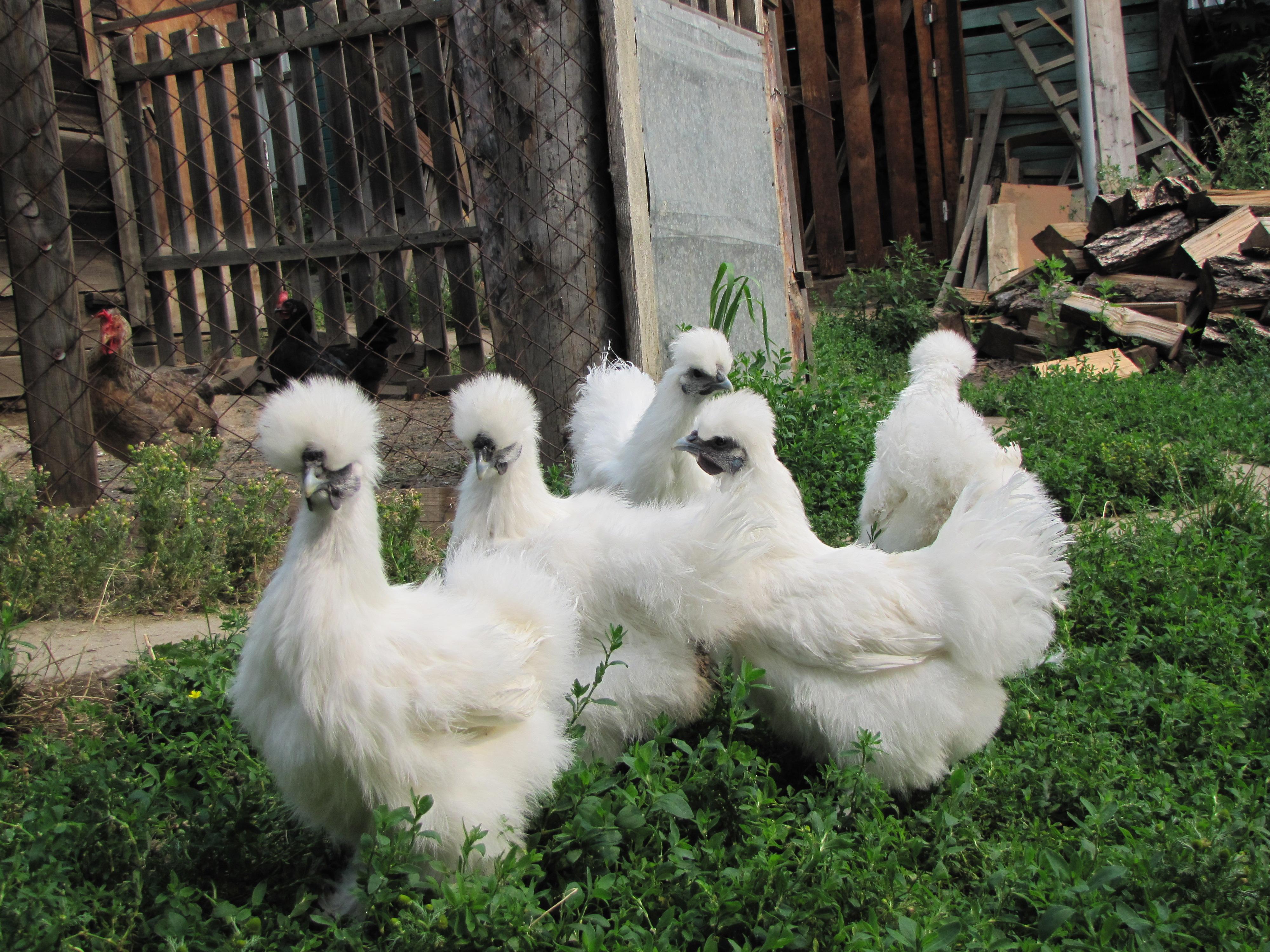 Описание, выращивание и размножение кур китайских шелковых