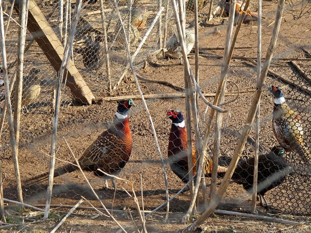 Фазан охотничий – фото, описания, особенности содержания в вольерах