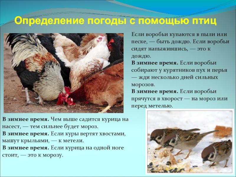 Кто ворует кур и цыплят из курятника?
