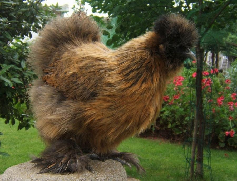 Падуан - декоративная порода кур. Описание, характеристика, содержание и разведение, уход, инкубация