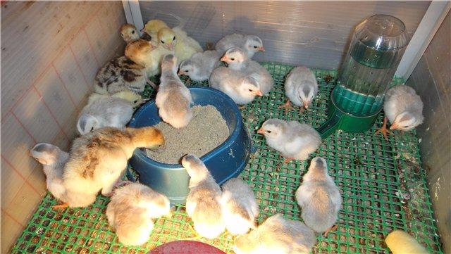 Содержание бройлерных цыплят с утятами вместе