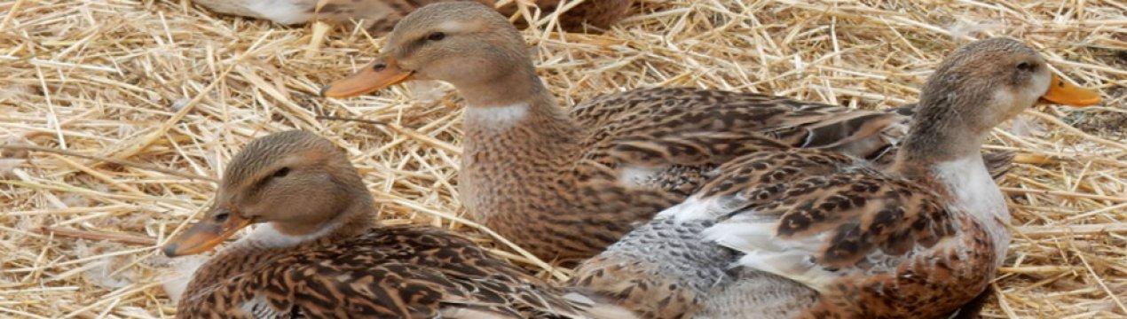 Утки башкирской породы – личный опыт выращивания