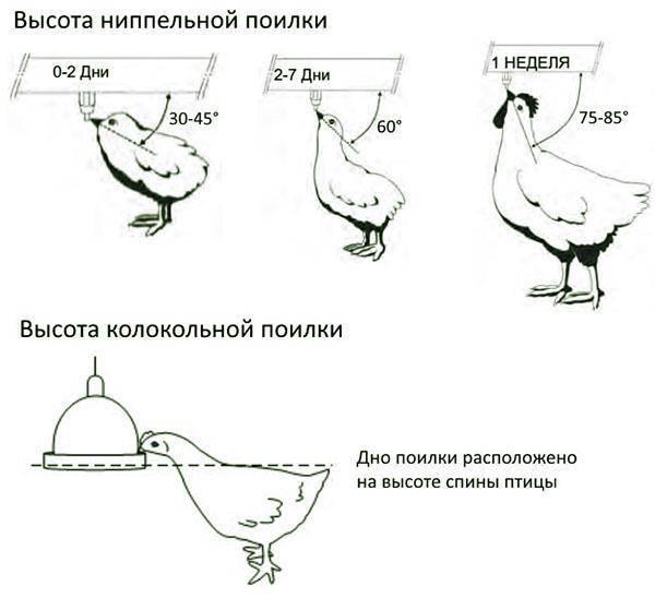 Утка СТ-5 – описание кросса, особенности выращивания, отзывы