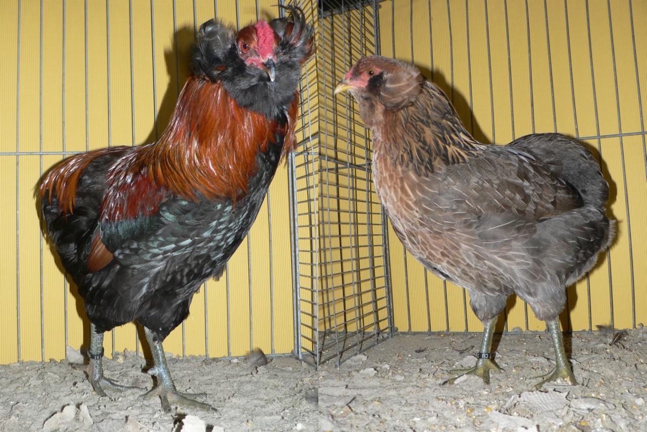 Араукана - яичная порода кур. Описание, характеристики, выращивание, кормление и инкубация