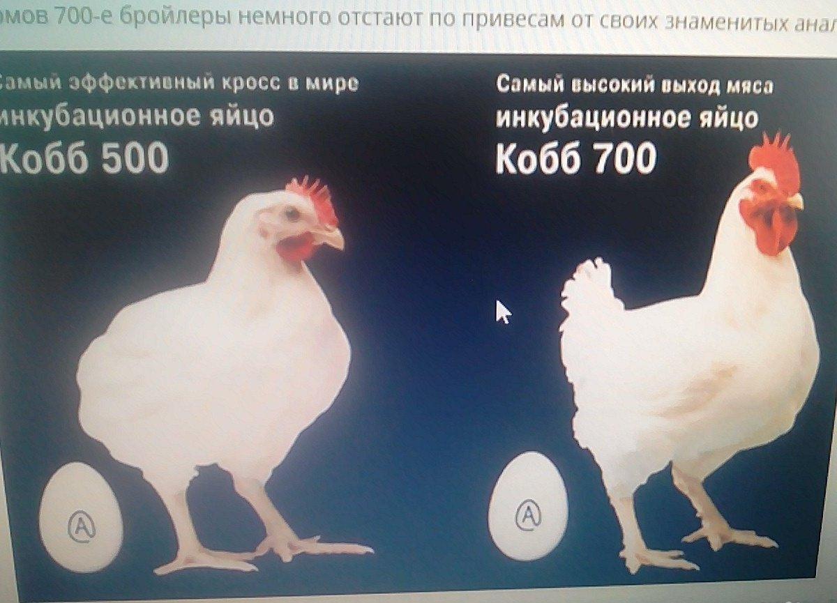Бройлеры РОСС-708