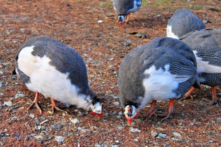 Вес цесарки в зависимости от пола и породы птицы