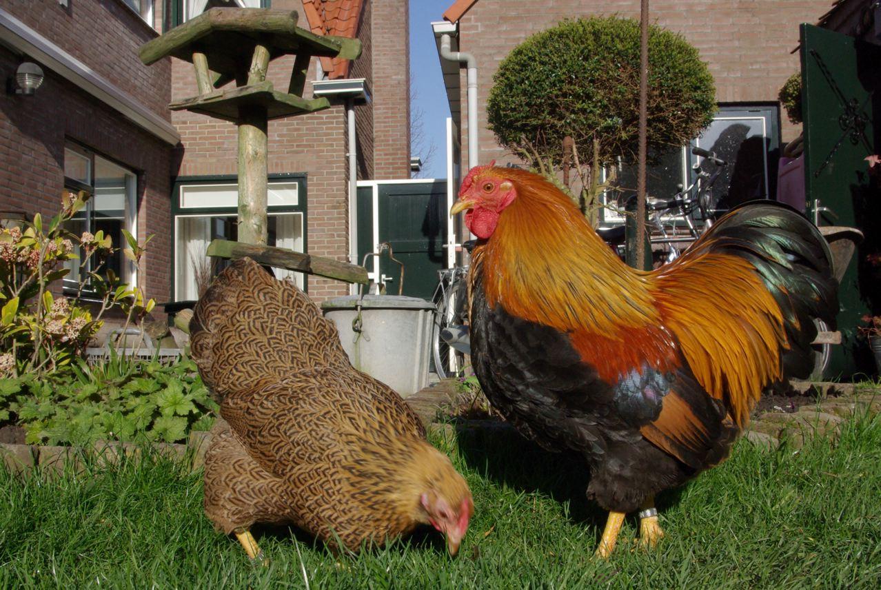 Бреда - декоративная порода кур. Описание, характеристики, разведение, содержание и инкубация