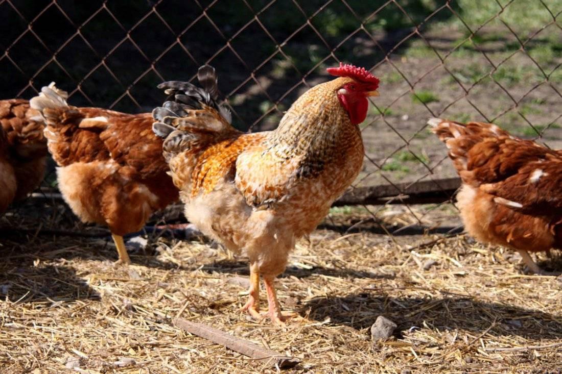 Зеленоножка - яичная порода кур. Описание, характеристики, содержание, кормление, инкубация