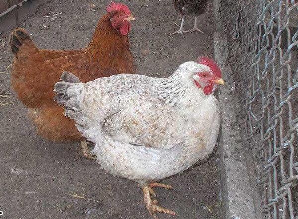 Мастер Грей порода кур – описание, фото и видео