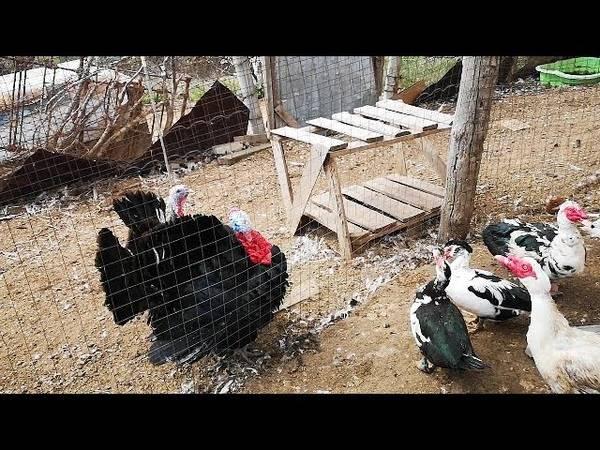 Как защитить кур и курятник от хищников