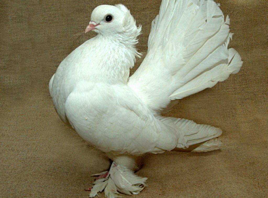 Обзор всех видов голубей с фото и описанием
