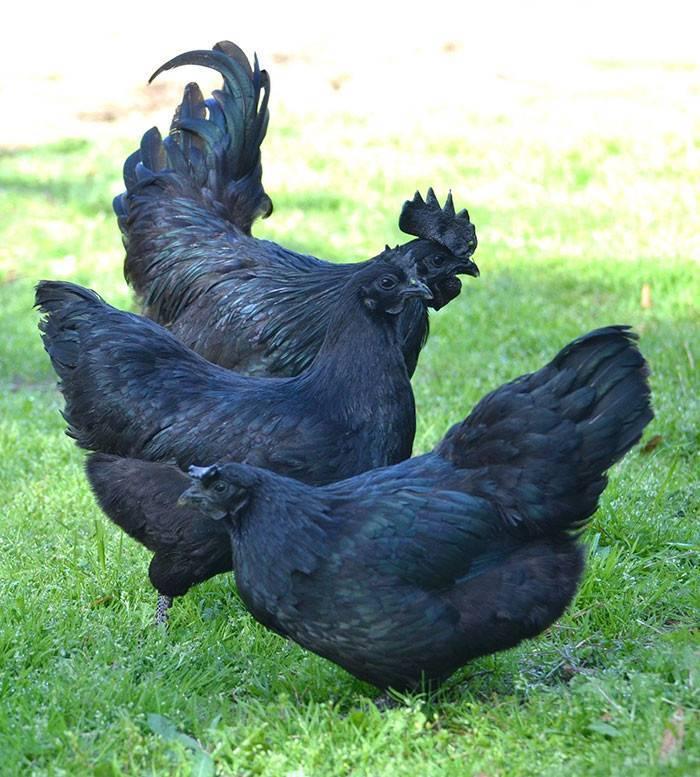 Моравские черные куры фото и описание породы