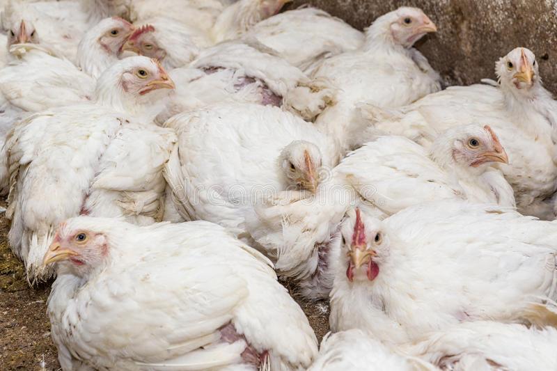 Какие цыплята бройлеры лучше