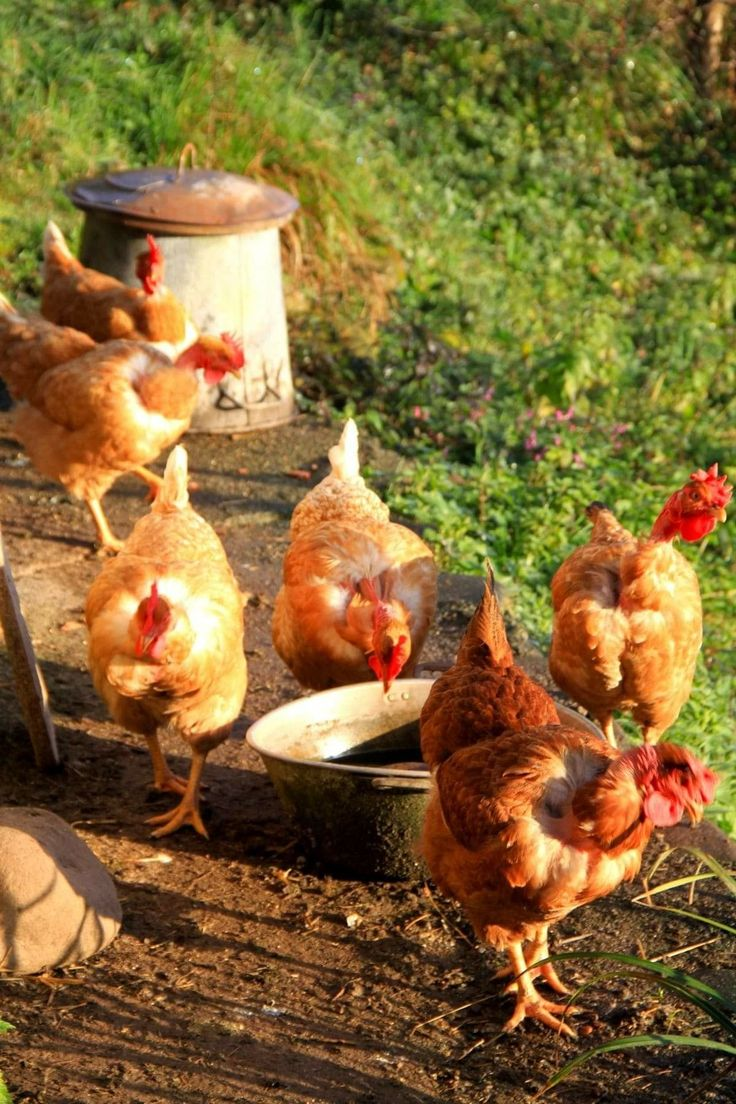 Лучшие растения для кур и цыплят, которые вы должны выращивать